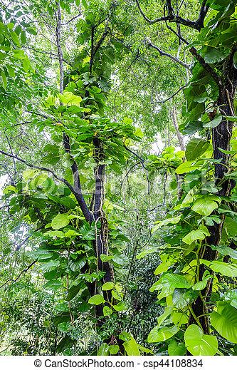 Green Pothos on tree in the garden - csp44108834