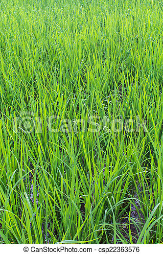 Green rice field background - csp22363576