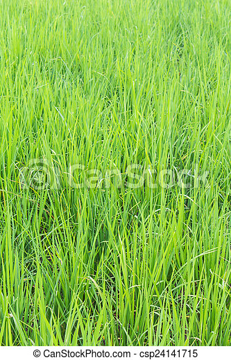 Green rice field background - csp24141715