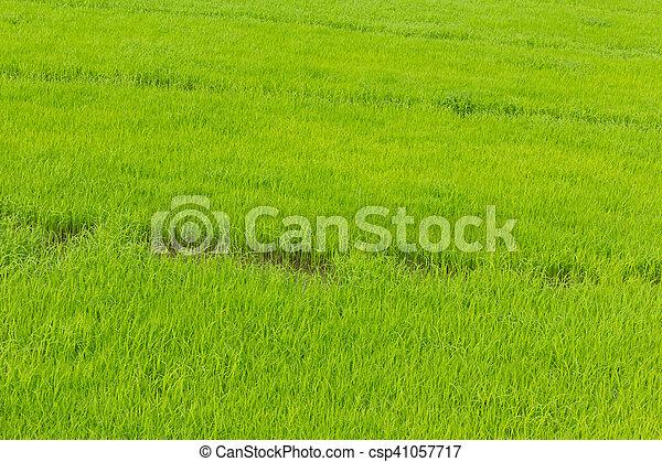 green rice field background - csp41057717