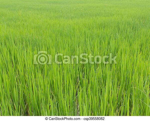 green rice field background - csp39558082
