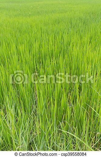 green rice field background - csp39558084