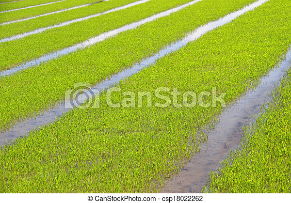 green rice field background - csp18022262