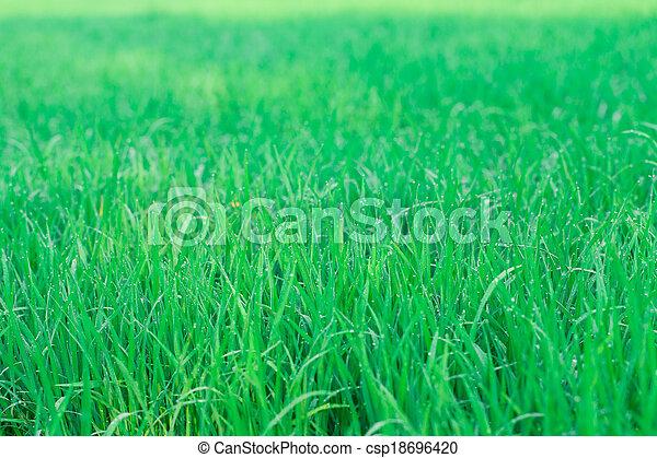 Green rice field background - csp18696420