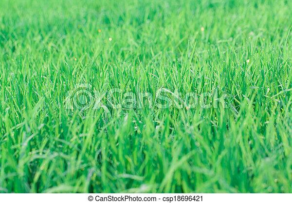 Green rice field background - csp18696421