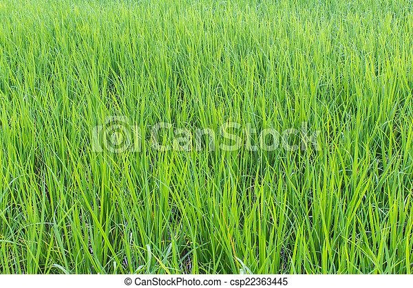 Green rice field background - csp22363445