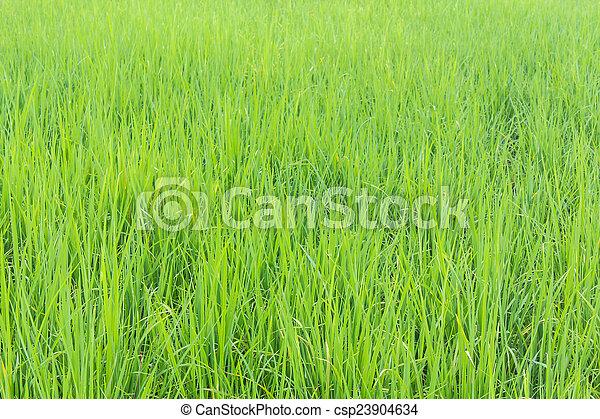 Green rice field background - csp23904634