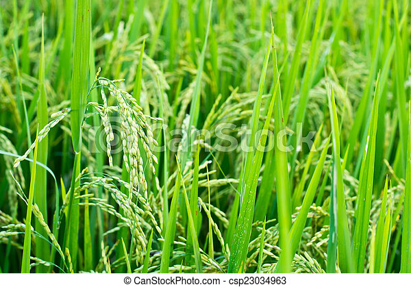 Green rice in the field rice backgr - csp23034963