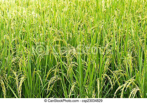 Green rice in the field rice backgr - csp23034829