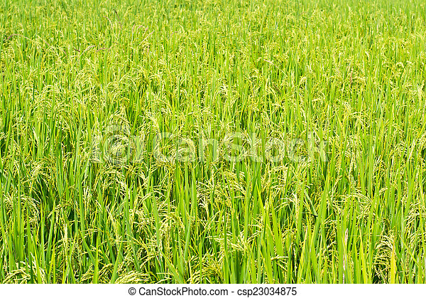 Green rice in the field rice background - csp23034875