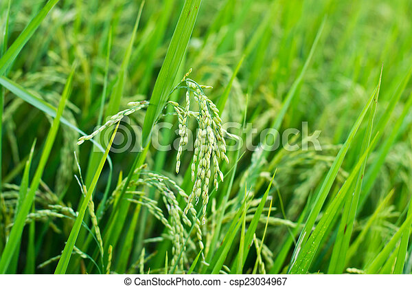 Green rice in the field rice background - csp23034967