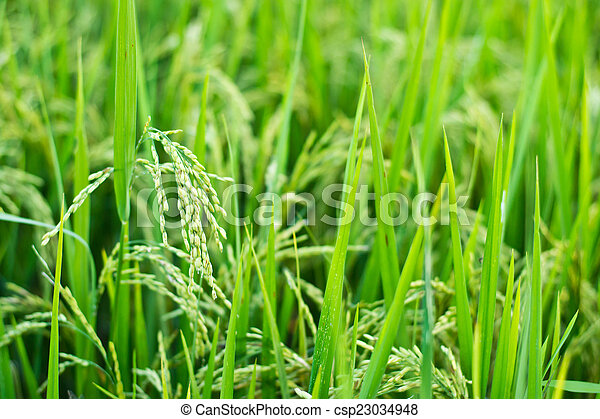 Green rice in the field rice background - csp23034948