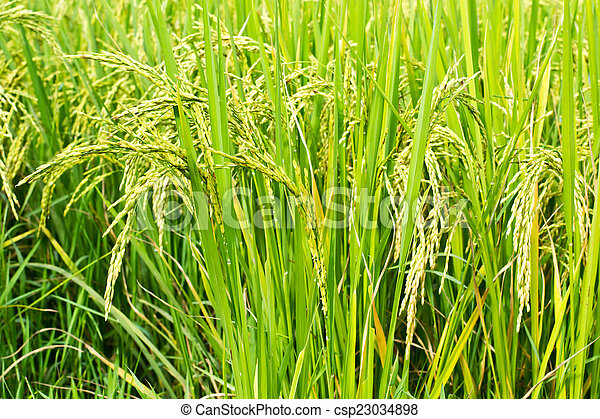 Green rice in the field rice background - csp23034898