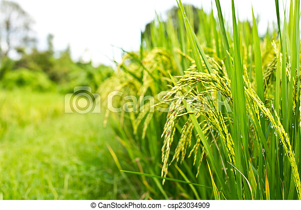Green rice in the field rice background - csp23034909