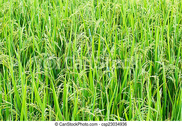 Green rice in the field rice background - csp23034936