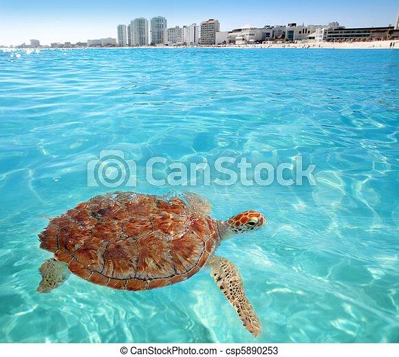 Green sea Turtle Caribbean sea surface Cancun - csp5890253