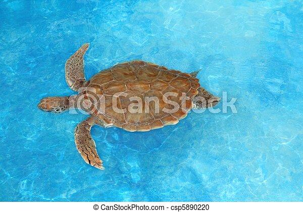 Green sea Turtle Chelonia mydas Caribbean - csp5890220
