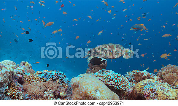 Green Sea turtle on a Coral reef - csp42953971