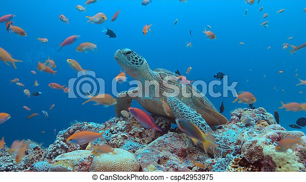 Green Sea turtle on a Coral reef - csp42953975