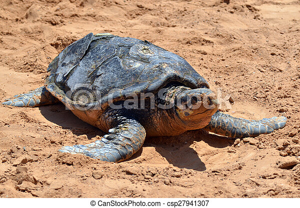 Green sea turtle - csp27941307