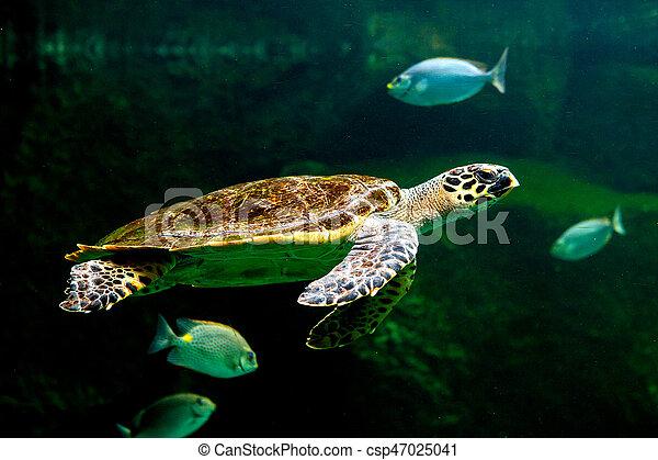 Green sea turtle swimming in a museum aquarium