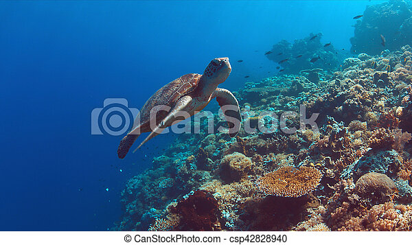 Green Sea turtle swims on a Coral reef - csp42828940