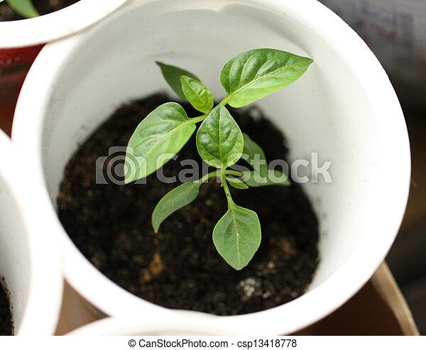 Green seedling growing out of soil - csp13418778