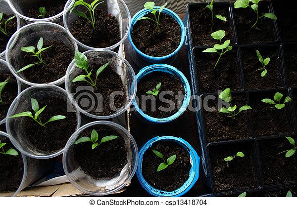 Green seedling growing out of soil - csp13418704