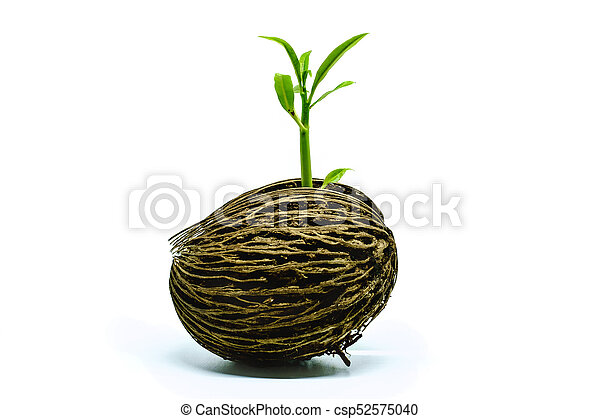 Green sprout growing from Cerbera odollam seed on white background - csp52575040