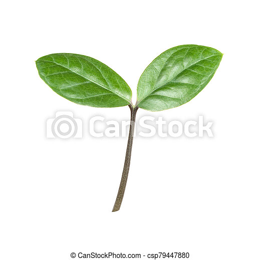 Green sprout on a white background - csp79447880