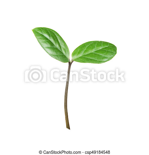 Green sprout on a white background - csp49184548