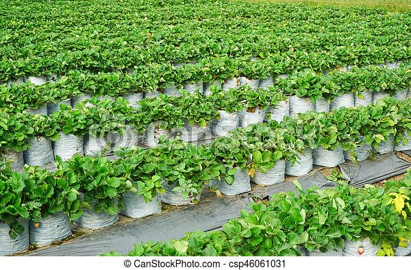 Green strawberries garden - csp46061031