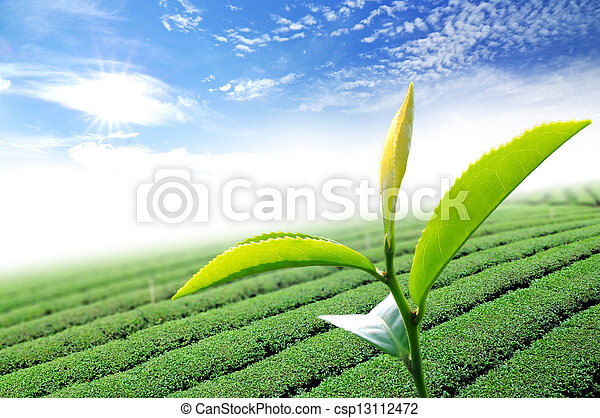 Green tea leaf - csp13112472