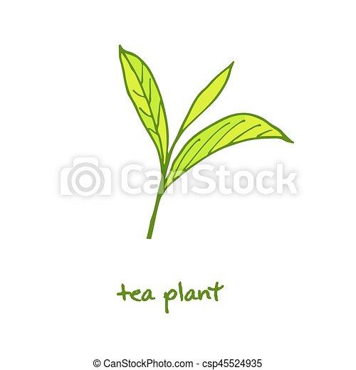 Green Tea Plant Hand Drawn Illustration