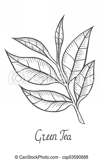 Green Tea Plant Leaf Hand Drawn Sketch Illustration Isolated On White