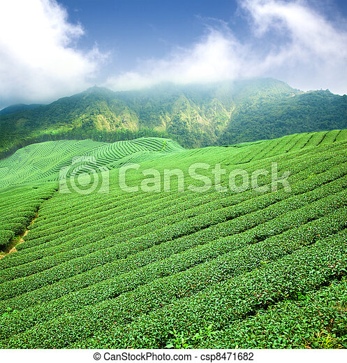 green tea plantation with cloud in asia  - csp8471682