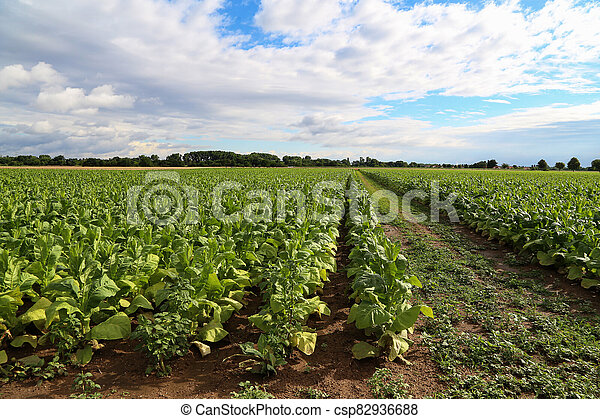 Green tobacco plants on a field in Germany - csp82936688