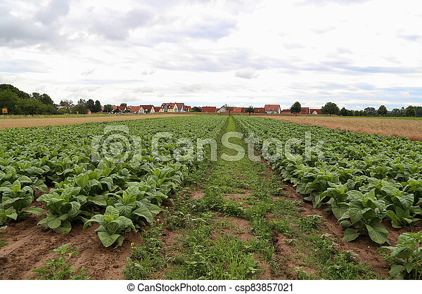 Green tobacco plants on a field in Rhineland-Palatinate - csp83857021