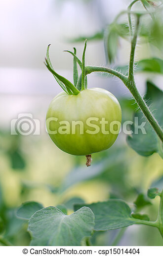Green tomato close-up view on a branch - csp15014404
