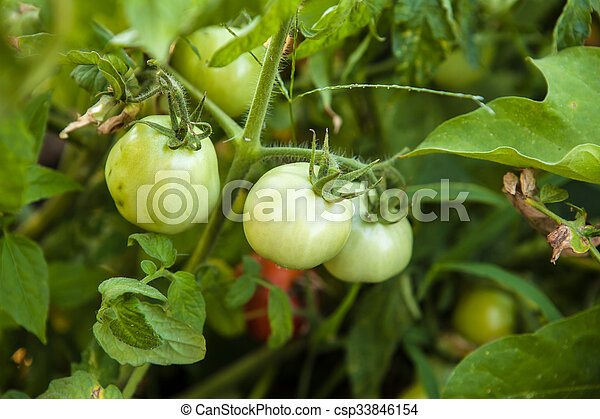 green tomatoes on the bush in the garden of - csp33846154