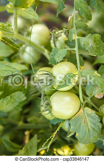green tomatoes on the bush in the garden of - csp33846147