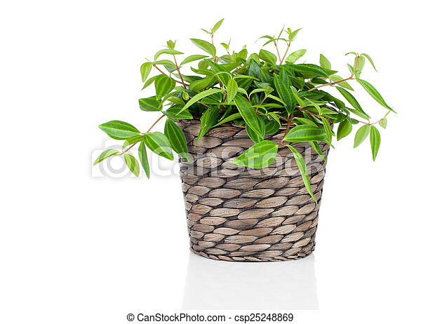 green tradescantia plant in pot, isolated on white background - csp25248869