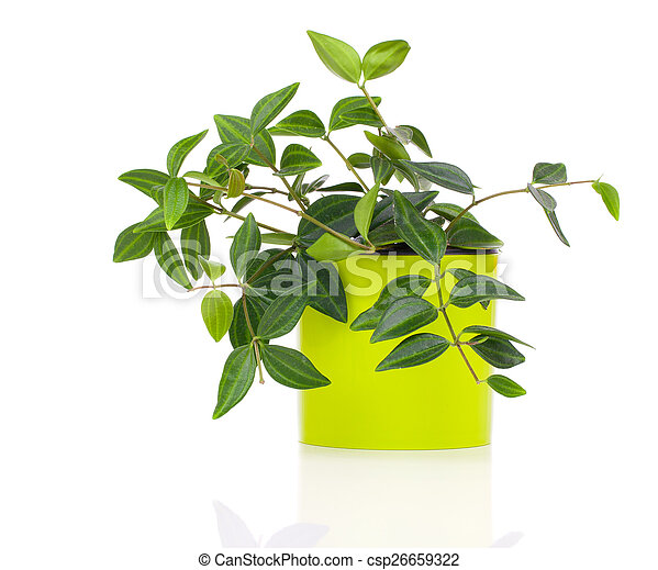 green tradescantia plant in pot, isolated on white background - csp26659322