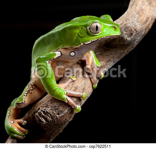 green tree frog amazon rain forest - csp7622511