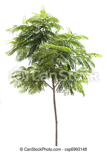 Green tree isolated on the white background - csp6993148