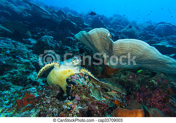 Green Turtle in Coral Reef - csp33709003
