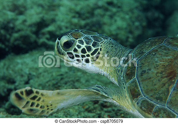 Green Turtle Swimming over a coral reef. - csp8705079