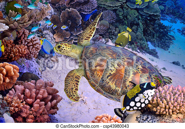 Green turtle, tropical coral reef - csp43980043