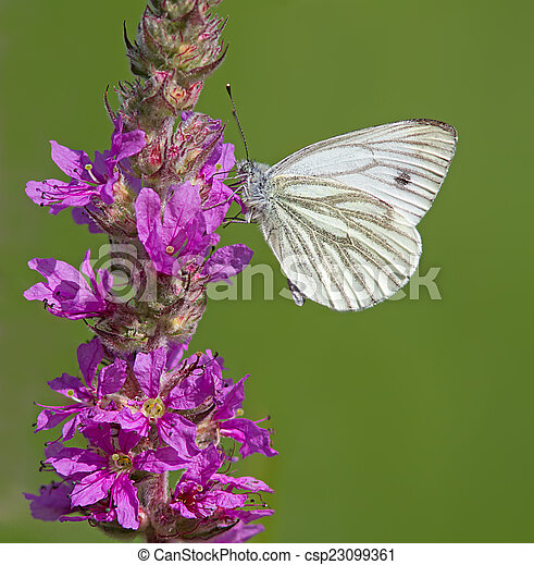 Green-Veined White Butterfly - csp23099361