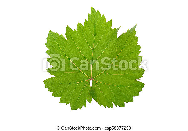 green vine leaf isolated on white background - csp58377250